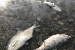 Døde fisk i Tryggevælde og Køge å.